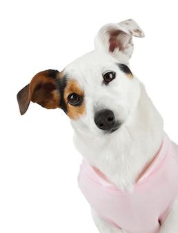 Jovem jack russel com vestido rosa