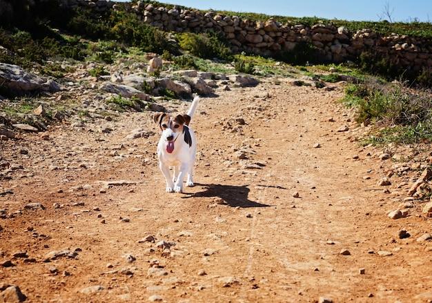 Jovem jack russell correndo ao longo da estrada de areia