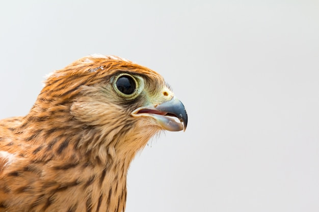 Jovem kestrel com uma bela plumagem