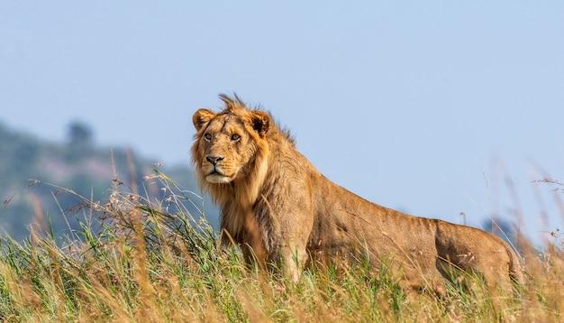 Jovem leão está de pé na grama em savana.