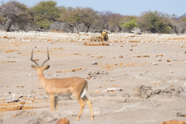 Jovem leão preguiçoso deitado no chão à distância e olhando para a impala. safari dos animais selvagens no parque nacional de etosha, namíbia, áfrica.