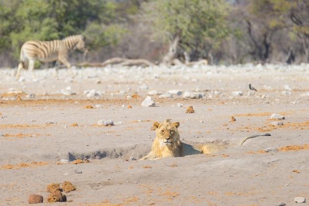 Jovem leão preguiçoso deitado no chão. zebra andando imperturbável. safari dos animais selvagens no parque nacional de etosha, namíbia, áfrica.