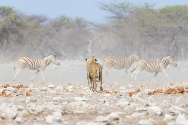 Jovem leão, pronto para o ataque, caminhando em direção a manada de zebras fugindo. safari dos animais selvagens no parque nacional de etosha, namíbia, áfrica.