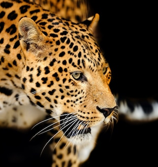Jovem leopardo em fundo escuro