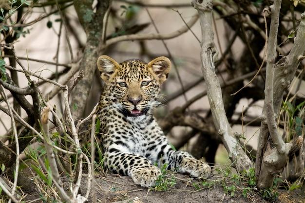Jovem leopardo em serengeti, tanzânia, áfrica