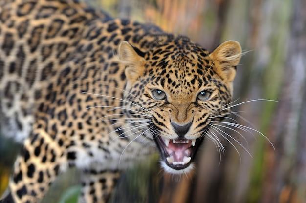 Jovem leopardo na natureza
