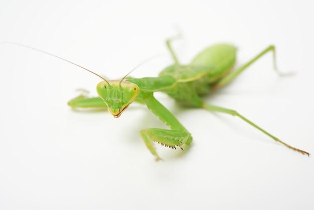 Jovem louva-a-deus verde em branco