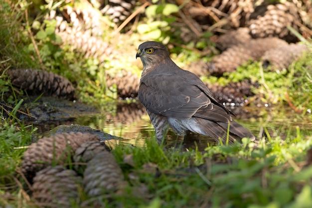 Jovem macho de gavião-pardal em um ponto de água natural em uma floresta de pinheiros no verão