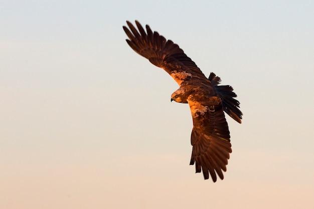 Jovem macho de harrier ocidental voando com as últimas luzes da tarde