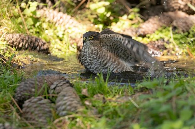Jovem macho gavião-pardal em um ponto de água natural em uma floresta de pinheiros no verão