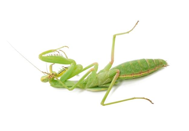Jovem mantis verde deitado de costas, inseto isolado no fundo branco