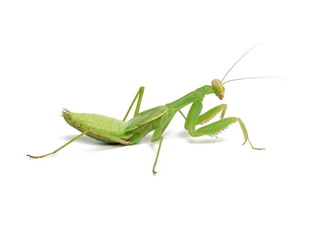 Jovem mantis verde sentado em um branco