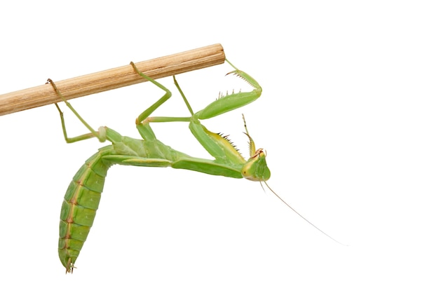 Jovem mantis verde sentado em uma vara de madeira, inseto isolado no branco