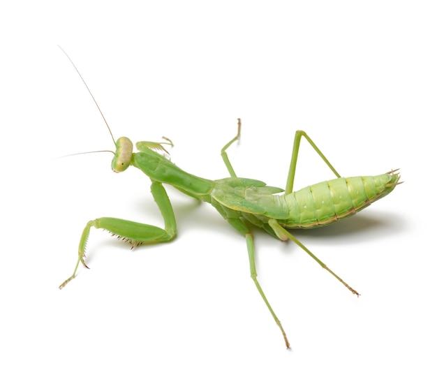 Jovem mantis verde sentado no branco