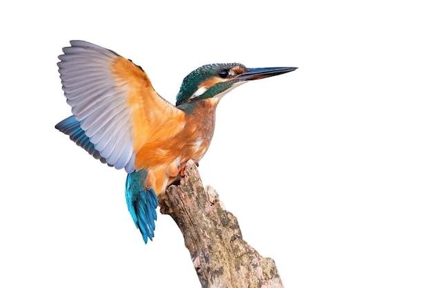 Jovem martim-pescador comum com asas abertas cortadas em branco.