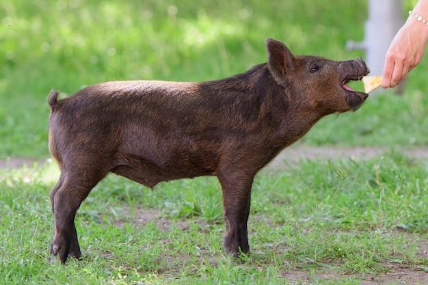 Jovem mulher alimenta um porquinho. em um prado verde