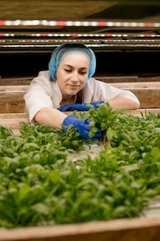 Jovem mulher caucasiana colhendo manjericão verde de sua fazenda de hidroponia. conceito de cultivo de vegetais orgânicos e alimentos saudáveis. fazenda vegetal hidropônica.