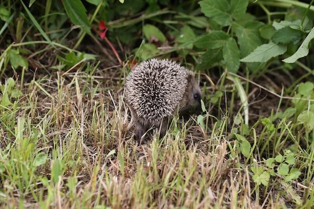 Jovem ouriço andando na grama, verão, férias de primavera
