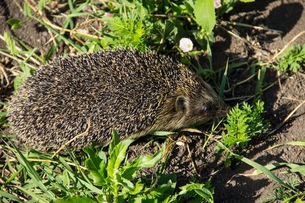 Jovem ouriço espinhoso na grama verde