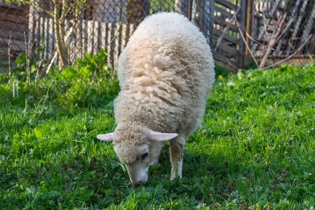 Jovem ovelha branca comendo grama verde no pasto do campo. prado de montanhas dos cárpatos. imagem de estilo country.
