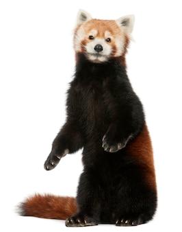 Jovem panda vermelho ou gato brilhante, ailurus fulgens em branco isolado