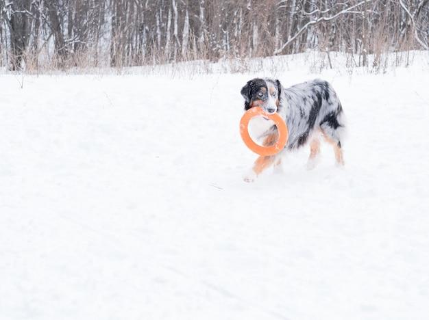 Jovem pastor australiano merle com olhos azuis, correndo e brincando com o extrator na floresta de inverno. cachorro na neve.