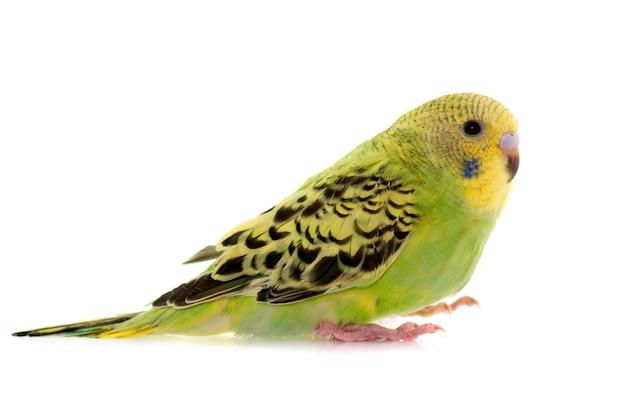 Jovem periquito australiano colorido