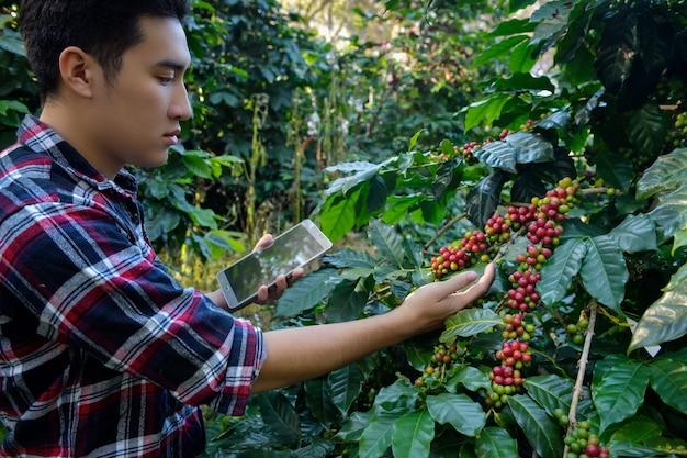 Jovem pesquisador pesquisando grãos de café arábica em cafeeiros cultivados em terreno elevado em chiang mai, tailândia