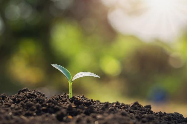 Jovem, planta, crescendo, em, manhã, luz