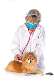 Jovem pomerânia e veterinário em frente ao fundo branco