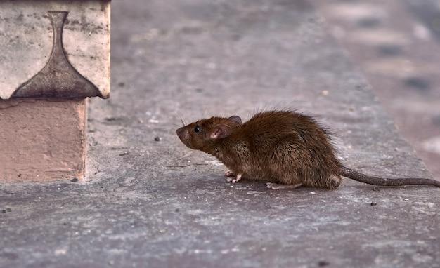 Jovem rato marrom procurando comida