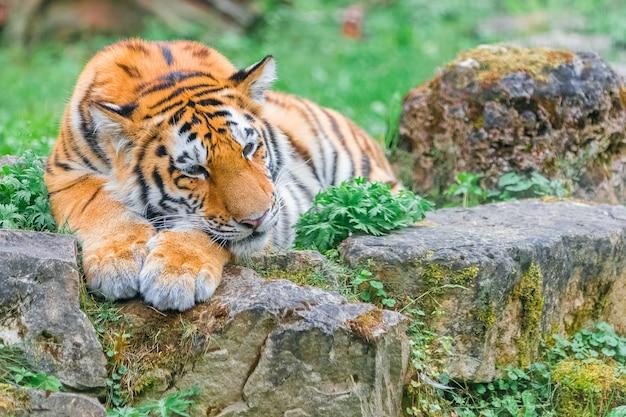Jovem tigre de bengala deitado na grama no dia de verão