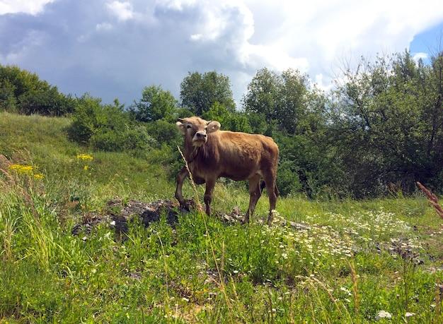 Jovem touro na coleira em uma campina, olhando para a câmera