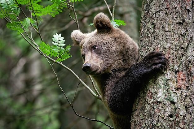 Jovem urso pardo agarrado a uma árvore com a pata grande molhada em uma floresta remota no verão