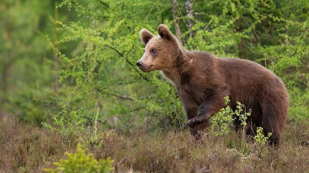 Jovem urso-pardo caminhando pela floresta na natureza de verão