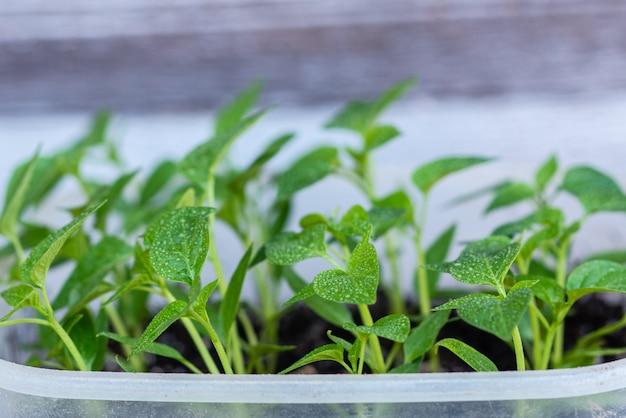 Jovem verde brotos de plantas de pimenta e tomate para uma horta de casa