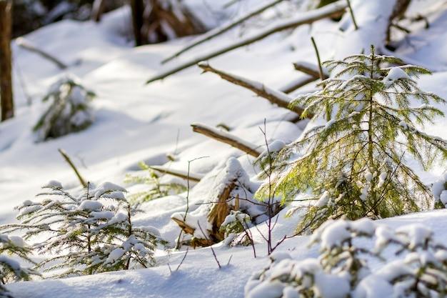Jovem verde iluminado por galhos de árvores de abeto de sol brilhante coberto com neve limpa fresca profunda no fundo de espaço de cópia ao ar livre azul branco turva. feliz natal e feliz ano novo cartão postal de saudação.