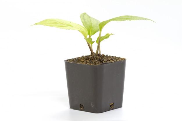 Jovem, verde, seedling, passiflora, planta, em, argila, flowerpot