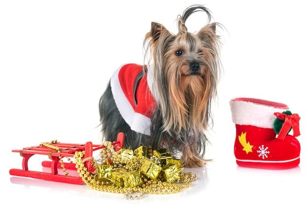 Jovem yorkshire terrier