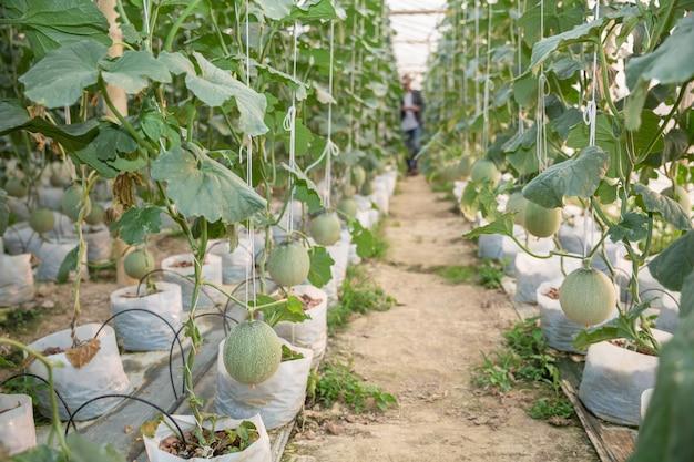 Jovens agricultores estão analisando o crescimento dos efeitos do melão em fazendas de efeito estufa