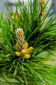 Jovens atiram no ramo de verde exuberante pinho. renovação de primavera de árvores, a formação de novos cones no pinheiro.