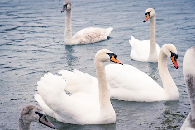 Jovens cisnes brancos na lagoa em um dia chuvoso no início da primavera