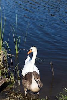 Jovens cisnes cinzentos na margem do lago