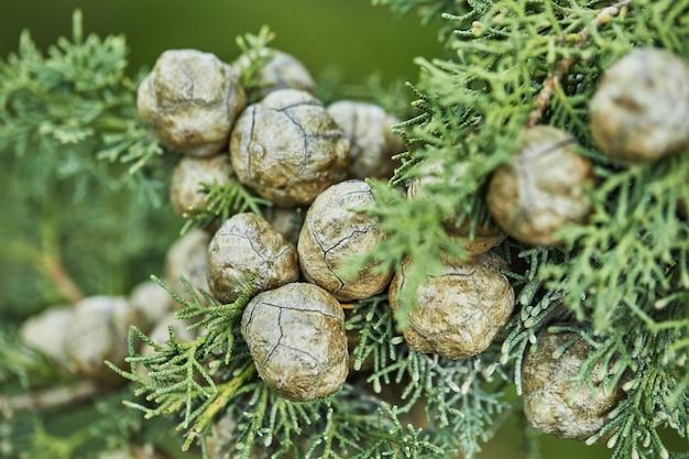 Jovens cones de florescimento em abeto na floresta no início da primavera, closeup.