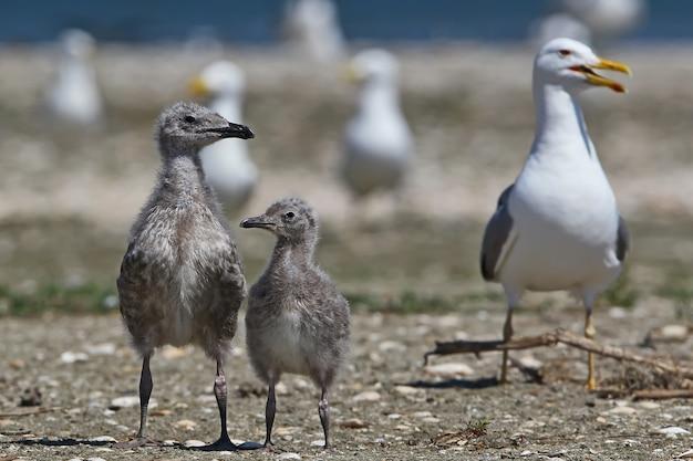 Jovens gaivotas do cáspio ao lado da mãe