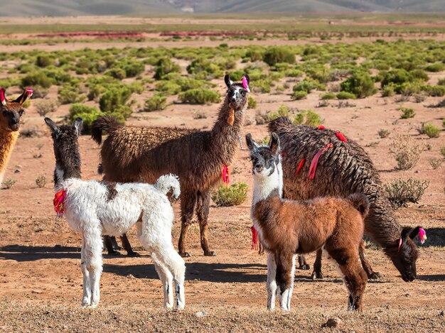 Jovens lhamas e manada de lhamas caminhando perto da estrada. bolívia, altiplano. andes