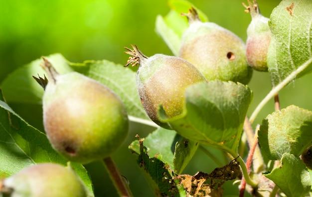 Jovens maçãs ácidas no início do crescimento, close-up na macieira após a floração e ovário de novos frutos de maçãs