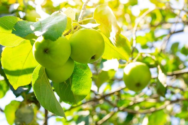 Jovens maçãs verdes da variedade de enchimento branco, amadurecem em um galho de árvore em um dia ensolarado de verão.