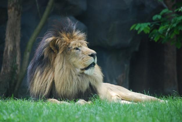 Juba de pelo preto espesso na cabeça de um leão relaxante.