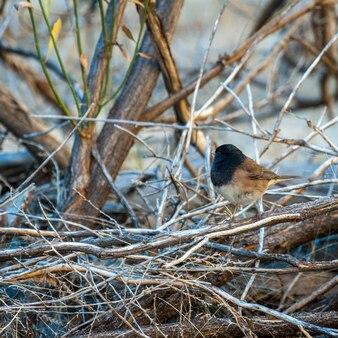 Junco de olhos escuros (junco hyemalis)